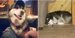 "LOST DOG: 142 5039 Rd., Tusket, Yarmouth Co., NS — Husky, Female, 5 — ""Luna"" | Nova Scotia Hunting | Scoop.it"