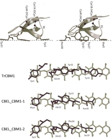 BMC Genomics: The unique architecture and function of cellulose-interacting proteins in oomycetes revealed by genomic and structural analyses (2012) | Plant Pathogenomics | Scoop.it