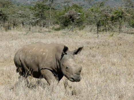 Pregnant black rhino killed in Ol Pejeta | What's Happening to Africa's Rhino? | Scoop.it