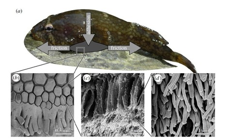 Clingfish's Super Strong Grip Could Inspire Better Adhesives   Biomimicry   Scoop.it