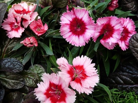 Photos de fleurs : Oeillet de Chine - Dianthus chinensis - Dianthus sinensis - Chinese Pink - Rainbow Pink | Faaxaal Forum Photos gratuite Faune et Flore | Scoop.it