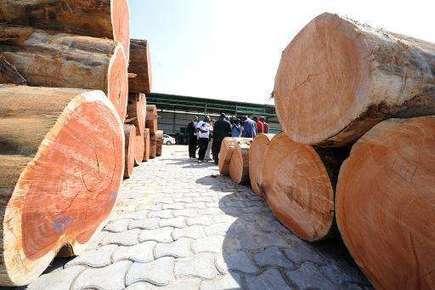 A contentious quest for Kevazingo, Gabon's sacred tree | GarryRogers NatCon News | Scoop.it