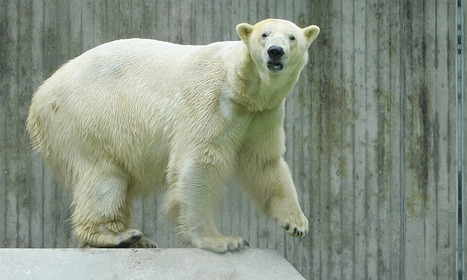 Polar bear in German zoo dies after eating discarded fabric | Zoos should not exist | Scoop.it