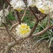 Edgeworthia Chrysantha or Chinese Paper Bush | Springtime | Scoop.it