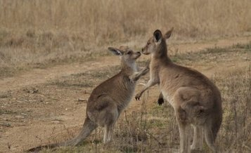 Few friends for shy kangaroos | animals and prosocial capacities | Scoop.it