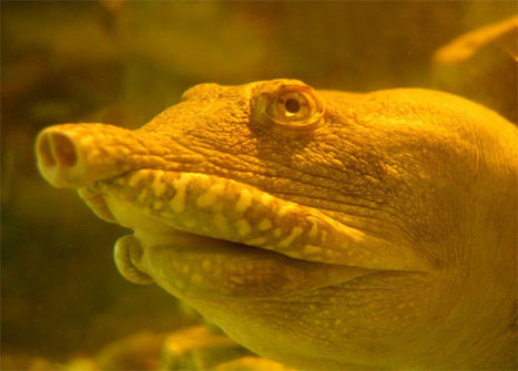 The Chinese Soft-Shelled turtle urinates through its mouth   No Such Thing As The News   Scoop.it