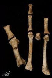 'Lucy' lived among close cousins: Discovery of foot fossil confirms two human ancestor species co-existed | Aux origines | Scoop.it