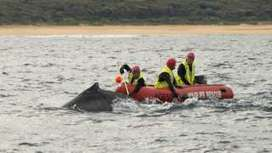 Whale calf tangled off Australian coast freed - BBC News | Whale and dolphin management | Scoop.it