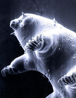 Water bear (Tardigrade) -- the world's toughest multicellular animal | Crime Forensics Criminal Profiling | Scoop.it