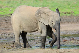 The Heavy Cost of Elephant Poaching - Wildlife Conservation Society | geo class | Scoop.it