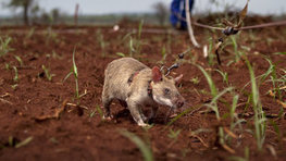 Video: The Mine-Sniffing Rats of Africa | Stories of Ashoka Fellows | Scoop.it