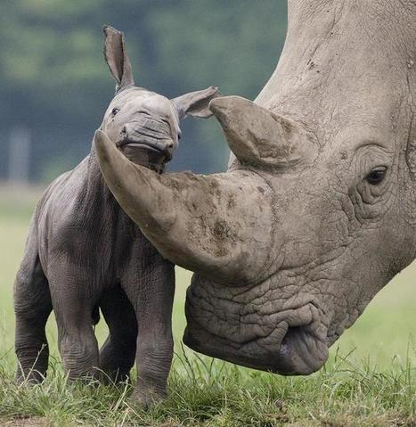 Twitter / SabiSandsRhinos: A female rhino needs her horn ... | Rhino links | Scoop.it