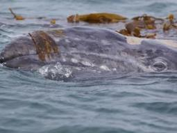 Rare whale keeps scientists guessing | Indigo Scuba | Scoop.it