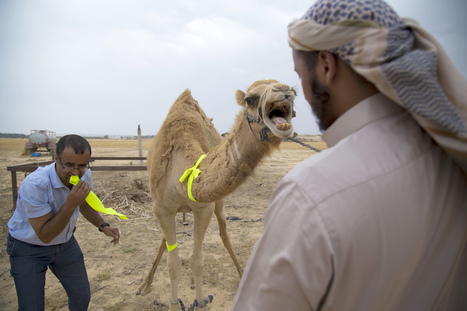 Bedouin Camels Wear Glowing Bands to Cut Down on Crashes | Strange days indeed... | Scoop.it