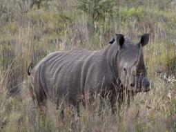 Rhinos sent to game farmer for protection | What's Happening to Africa's Rhino? | Scoop.it
