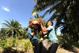 Les dessous de la guerre de l'huile de palme au Honduras   eco   Scoop.it