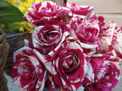 Des roses pour ce dimanche | The Blog's Revue by OlivierSC | Scoop.it