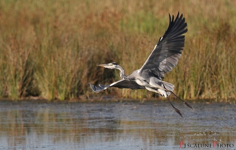Héron cendré aérien (Ardea cinerea), Dancing Grey Heron | De Natura Rerum | Scoop.it