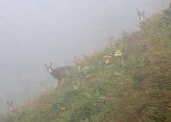 Le chamois depuis 60 ans dans les Vosges | Biodiversité | Scoop.it