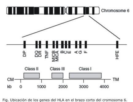 Factores genéticos, inmunológicos y ambientales asociados a la autoinmunidad | AUTOINMUNIDAD Y SUS FACTORES | Scoop.it
