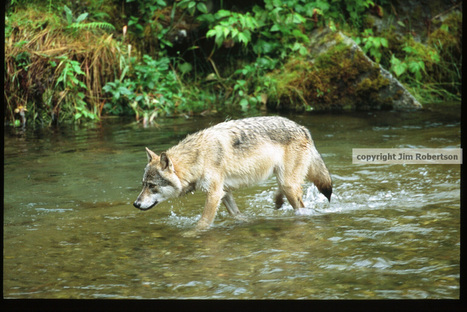 Help protect the imperiled Archipelago wolf! | GarryRogers NatCon News | Scoop.it