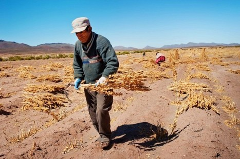 Quinoa should be taking over the world. This is why it isn't. | riavaluoS | ACCI SRL | Scoop.it