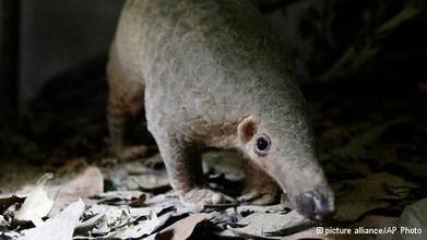 Sanctuary saves anteaters maimed by poachers | Wildlife Trafficking: Who Does it? Allows it? | Scoop.it