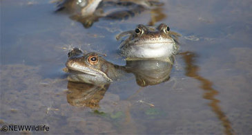 NEWW - North East Wales Wildlife | Amphibian & Reptile Conservation | Scoop.it