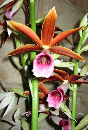 "Queensland's native ""Aussie Giant"" orchids 