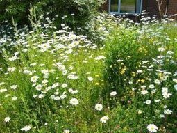 Nearby wild - how I turned my lawn into a mini-meadow | The Amateur Ecologist | Scoop.it