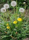 Dandelion (Pu Gong Ying) - Chinese Herbs Healing | Chinese medicine | Scoop.it