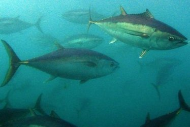 #Fiji fishermen warn #foreignboats over-fishing in Pacific #destroying #local tuna industry | Now is the Time to Help our Oceans & it's Species ! | Scoop.it