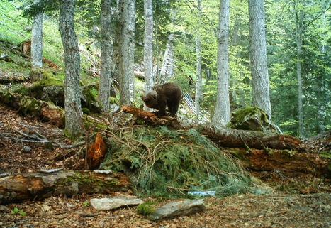 La population d'ours pyrénéens augmente mais reste fragile | Biodiversité | Scoop.it