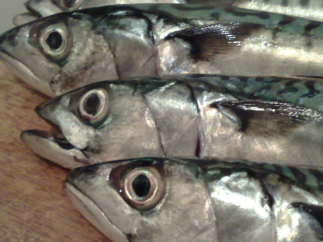 Scottish Mackerel Loses Eco-Label – Urban Times | YES for an Independent Scotland | Scoop.it