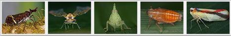 Une base de données mondiale en ligne sur les Hémiptères fulguromorphes (fulgores et fulgorelles) | EntomoNews | Scoop.it
