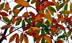 Leaves turning fiery like metal blades in a forge | Nature Flash | Scoop.it