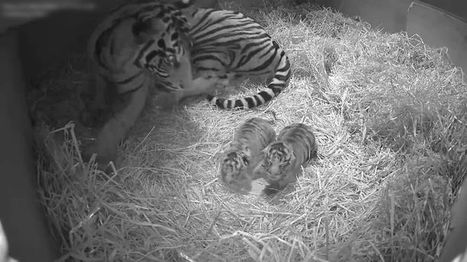 Two Of The World's Rarest Tigers Have Been Born At London Zoo | Biodiversity protection | Scoop.it