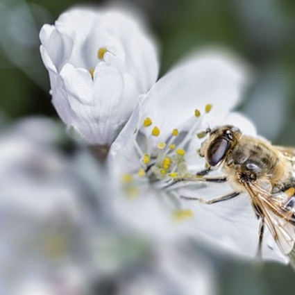 Bees Are More Crucial to Modern Agriculture Than Fertilizer | Communications 4 Development | Scoop.it