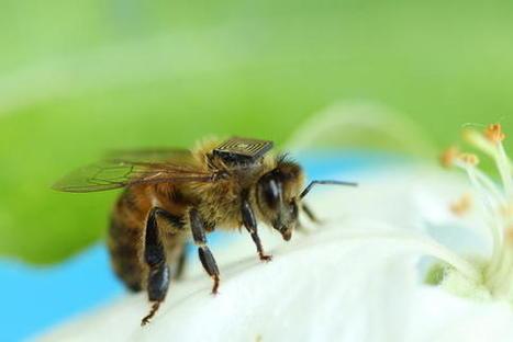 Colocan sensores en las abejas para saber más sobre su productividad y supervivencia / Noticias / SINC | Apicultura Investigación | Scoop.it