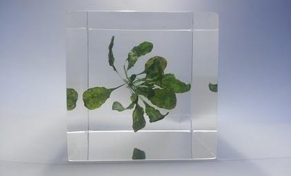 GenoCon Gallery - Transgenic Arabidopsis thaliana plant with synthesized DNA…   GenoCon 2   Scoop.it