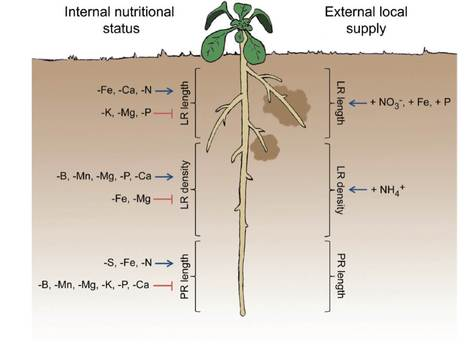 It's time to make changes: modulation of root system architecture by nutrient signals   Plant Biology Teaching Resources (Higher Education)   Scoop.it