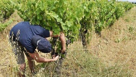 La fusion des régions Midi-Pyrénées et Languedoc-Roussillon va créer le plus grand vignoble de France – Réforme territoriale - France 3 Midi-Pyrénées   Le vin quotidien   Scoop.it