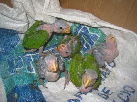 Tis' the Season for Parrot Poaching - The San Pedro Sun News | Impact on Wildlife | Scoop.it