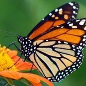 Monarch Butterflies Missing From Canada This Summer - The Inquisitr | Butterflies Are Blooming | Scoop.it