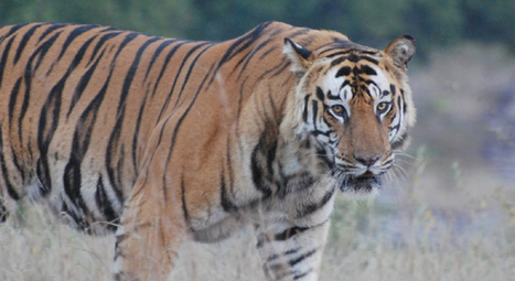 The Habitats of Bengal Tiger in Asia | Tyger! Tyger! | Scoop.it