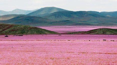 Chili: le désert de l'Atacama, l'un des endroits les plus secs du monde, couvert de fleurs | Biodiversité & Relations Homme - Nature - Environnement : Un Scoop.it du Muséum de Toulouse | Scoop.it