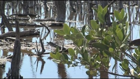 Mangrove restoration plan in place - WZVN-TV | Fish Habitat | Scoop.it