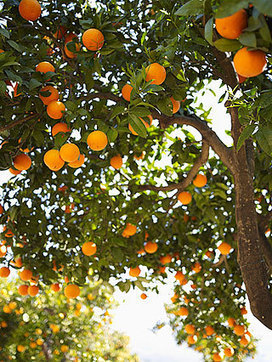 New study offers hope for halting incurable citrus disease - UC Davis | Plant protection | Scoop.it