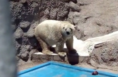 Arturo the Polar Bear Is World's Saddest Animal at #shitty #Argentina #Zoo | Nature Animals humankind | Scoop.it