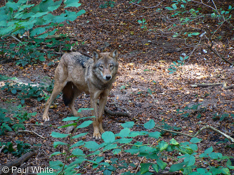 Should wolves be reintroduced to the British landscape? | Environmental issues | Scoop.it